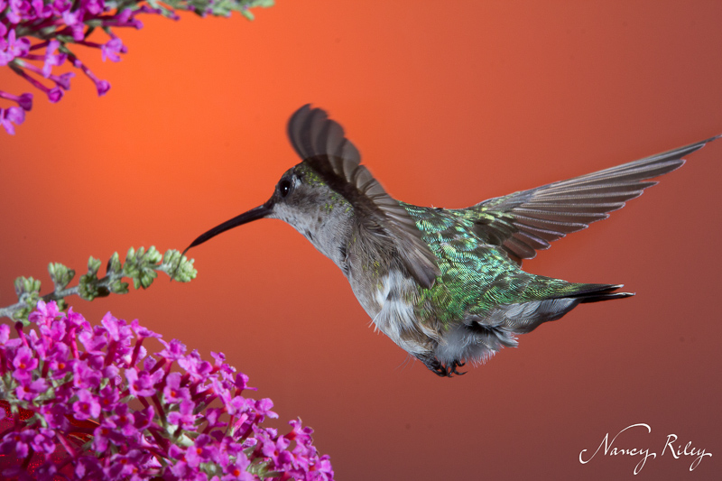 Hummingbird with butterfly bush