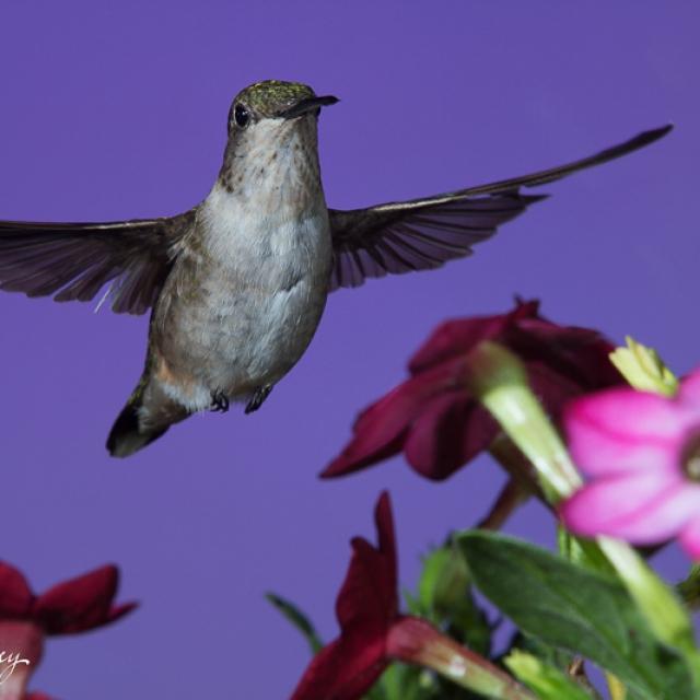 Hummingbird with nicotiana