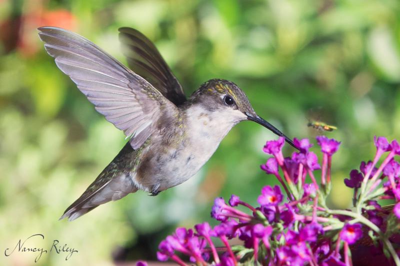 Hummingbird at f/16