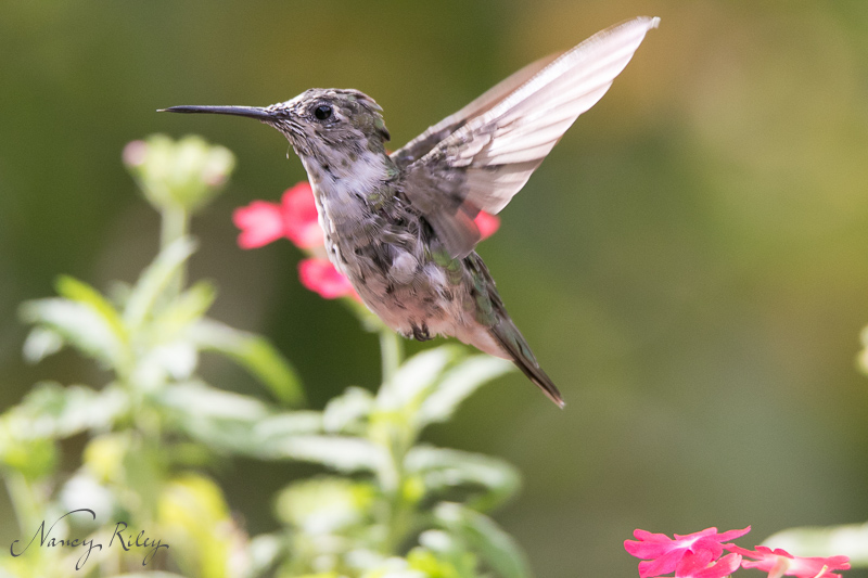 Hummingbird photography in available light
